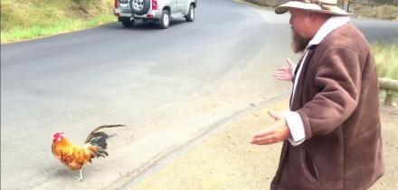 Wandering rooster in tasmania
